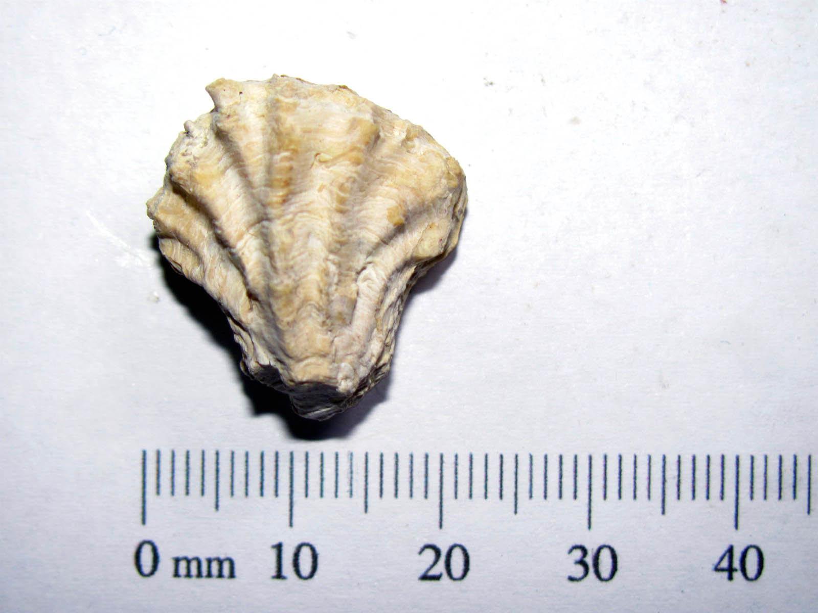Arcinella cornuta Bi-valve 1.JPG
