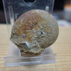 Gulielmites jason Ammonite 1.jpg