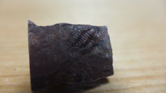 Piochaspis sellata Trilobite 1.jpg