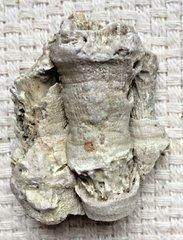Coral-Fossil-Lithostrotionella-4 1.jpg