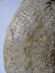Harpoceras falcifer Ammonite 1.JPG