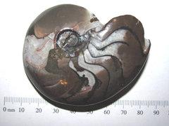 goniatite ammonoid UL b1.JPG