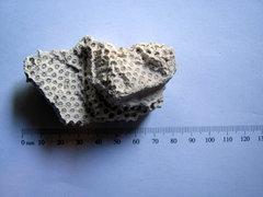 Orbicella faveolata Coral a.JPG