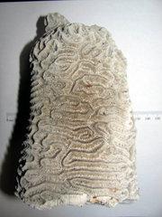 Diploria clivosa, Growing Around a Gorgonian (Whip) Coral 1.JPG