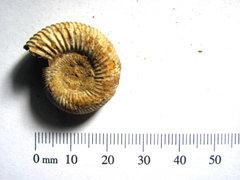 Perisphinctes sp Ammonite B1.JPG