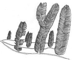 Plumalina plumaria hydrozoan feather coral 1.JPG