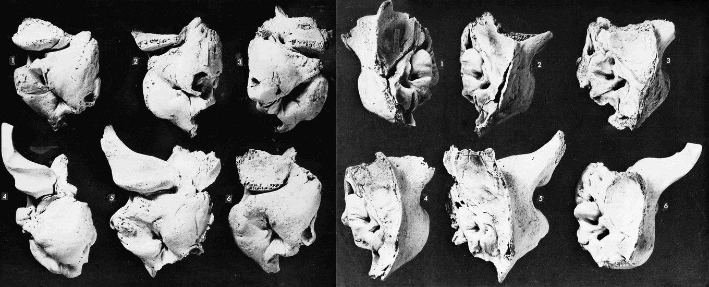 Monotherium.jpg