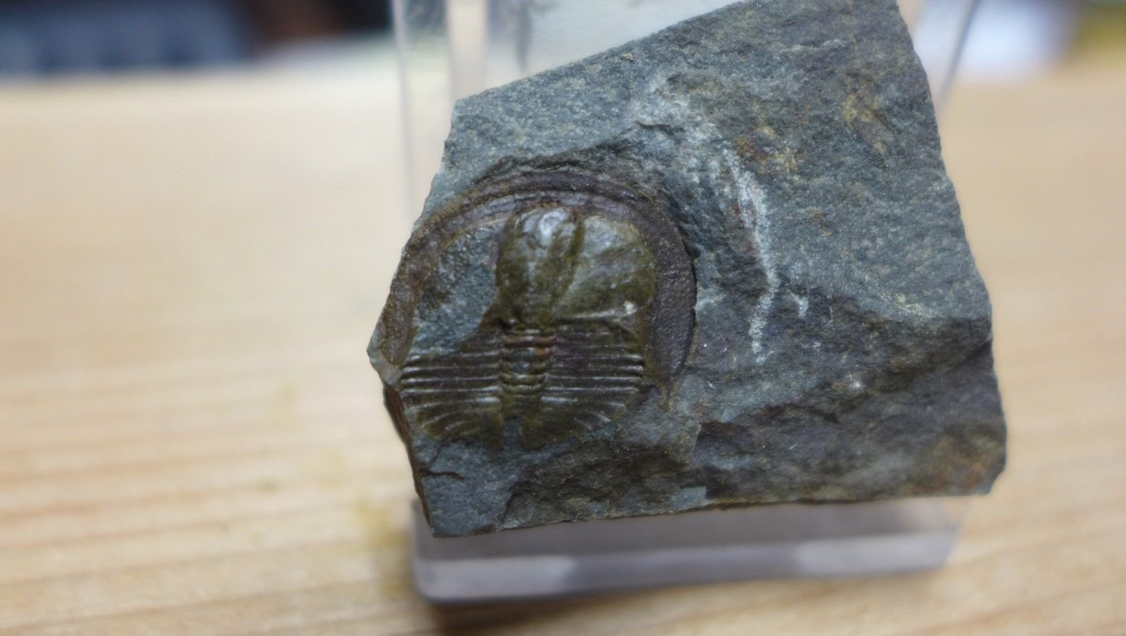 Lloydolithus lloydi Trilobite 1.jpg