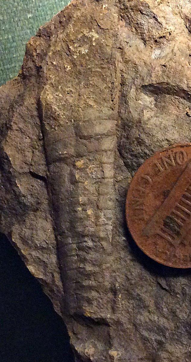 Middle Devonian Nautiloid from Sullivan CO., Southeastern N.Y.