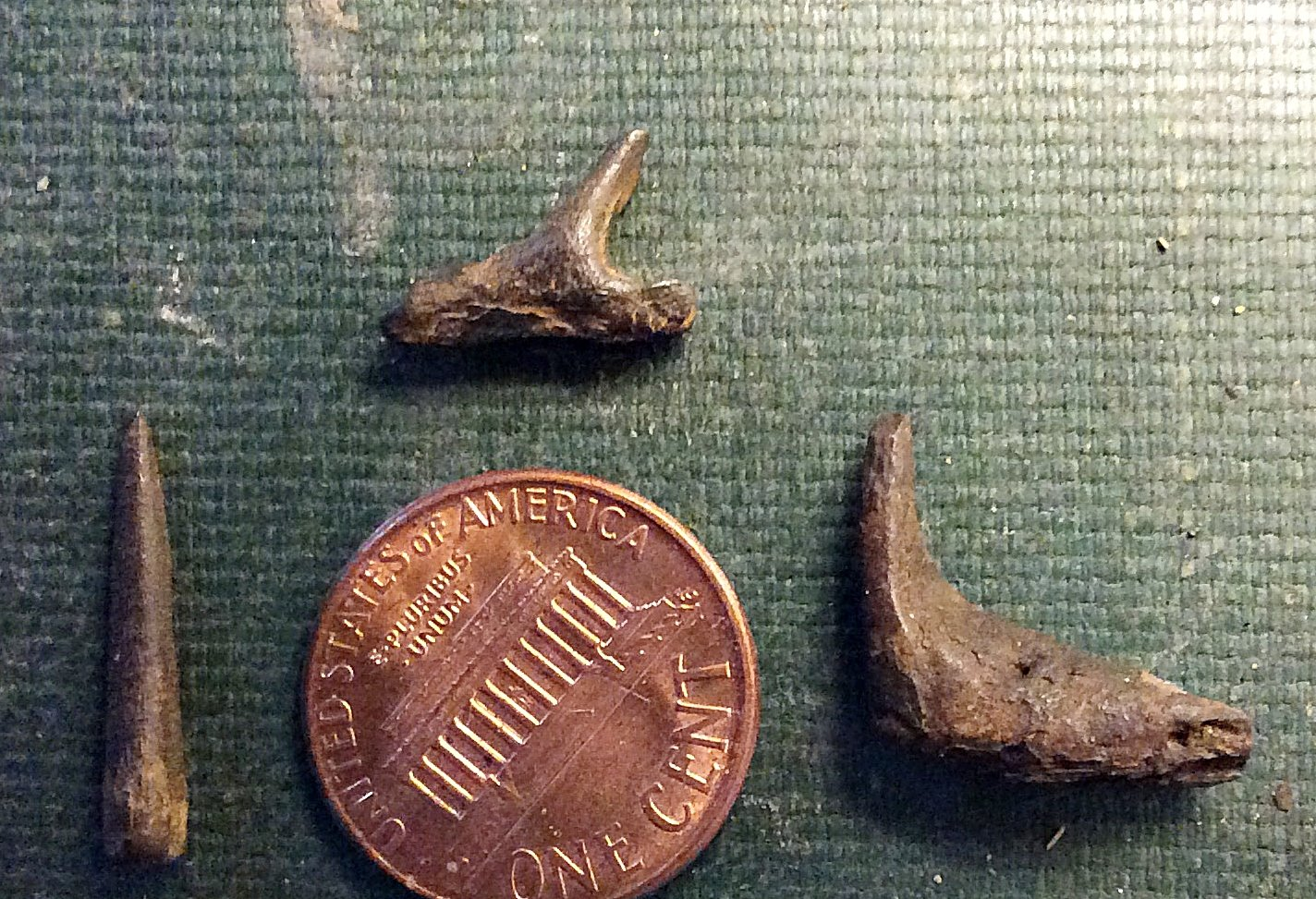 Enchodus from the Wenonah Formation, Monmouth CO., N.J.