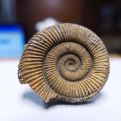 Zugodactylites braunianum 1.jpg