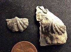 Megakozlowskiella from the Lower Devonian Kalkberg Formation, N.Y.