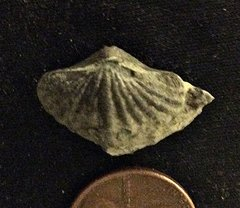 Howellella from the Lower Devonian Kalkberg Formation, N.Y.