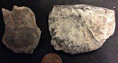 Costistrophonella from the Lower Devonian Kalkberg Formation, N.Y.