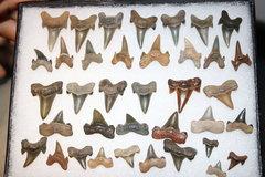 Mackeral Shark Teeth