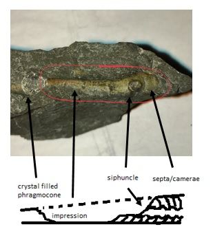 devonian fossil.jpg