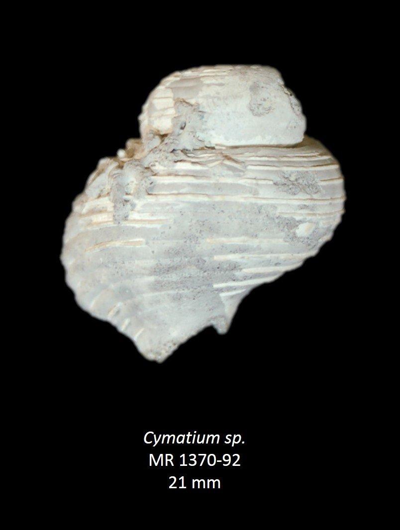 Cymatium sp.
