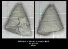 Calliostoma cf. pulchrum