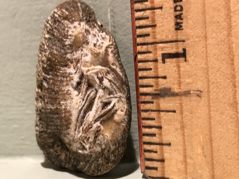 fossil1.thumb.jpg.06e273d21e39ae572d00a69e3a9452bd.jpg