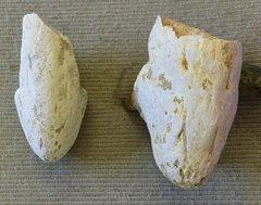 Mosasaur premaxillary bones