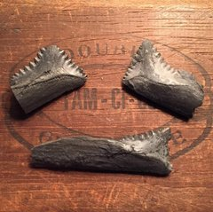 Edestus teeth