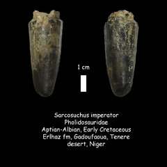 Sarcosuchus tooth