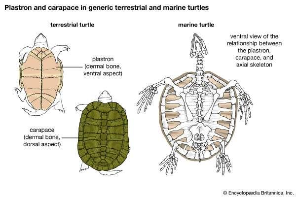 turtle_carapace.jpg