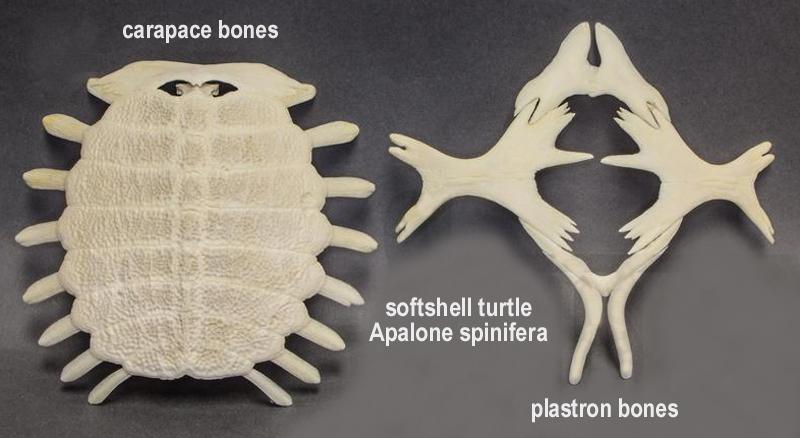 turtle_softshell_shell.jpg