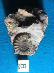 Acanthopleuroceras Maugenesti