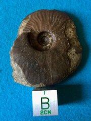 Ancolioceras opalinoides