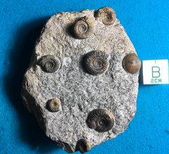 Dectylioceras Toxophorum with Bivalve