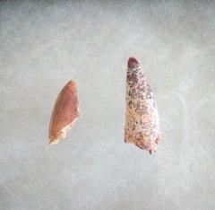 Abelisaurid tooths