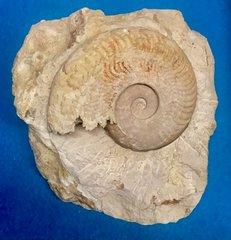 Harpoceras Falciferum