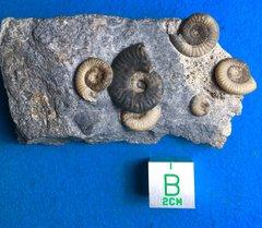 Dactylioceras toxophorum and Harpoceras Isle Skye uk