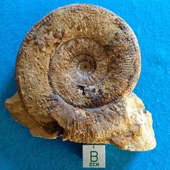 Stemmatoceras large . Sherborne Dorset uk