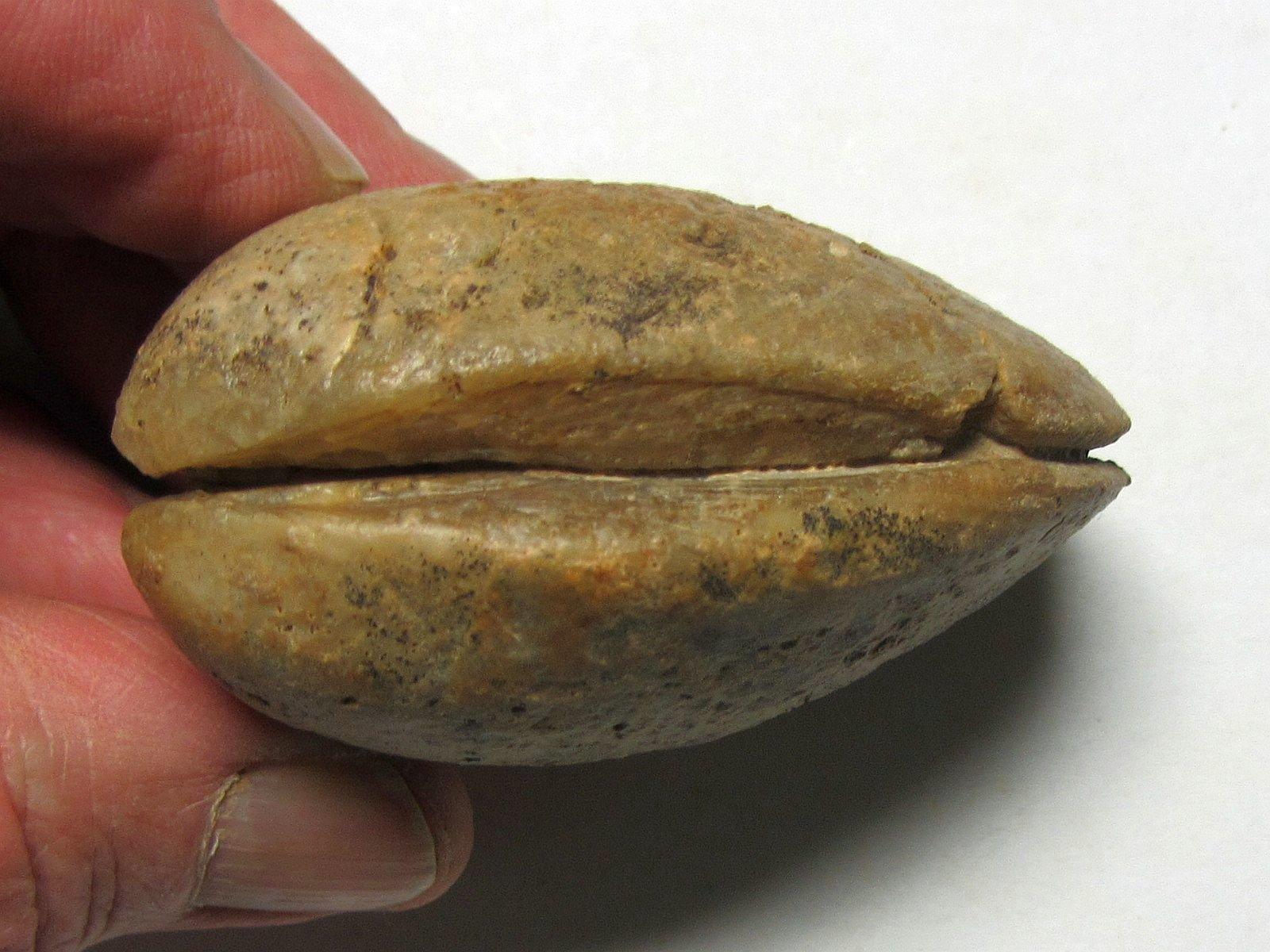 Astarte obliqua (Lamarck 1819)