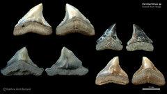 Carcharhinus sp. 02