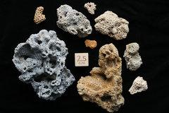 Plesitocene Corals, Cape Hatteras