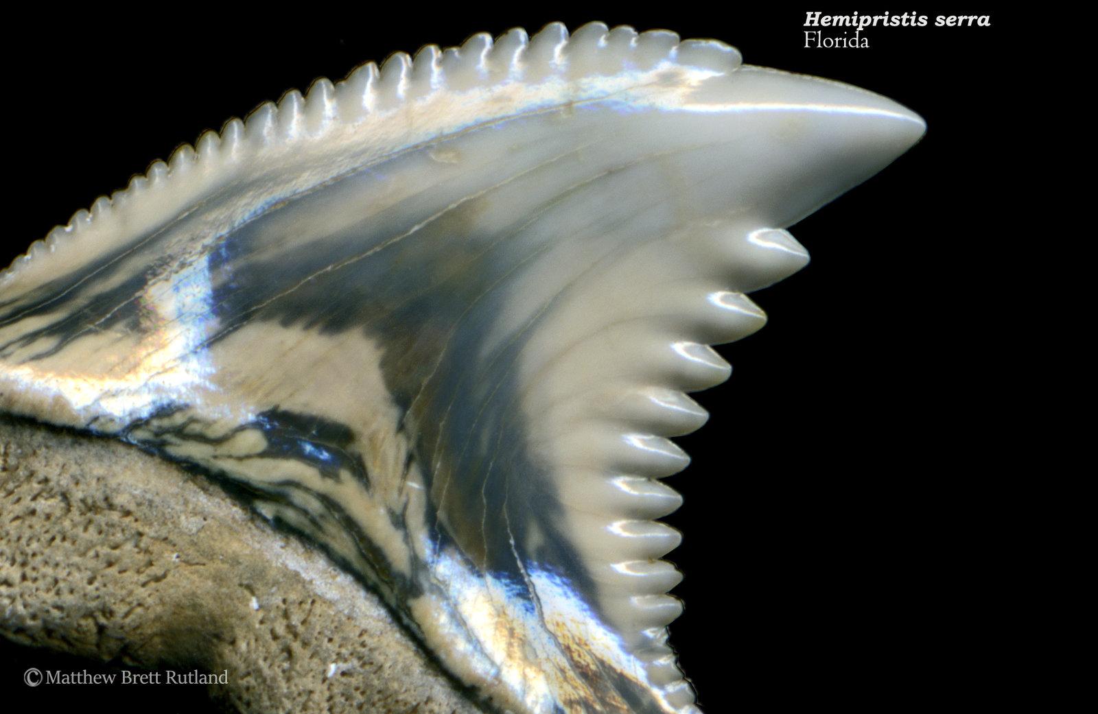 Hemipristis serra 05