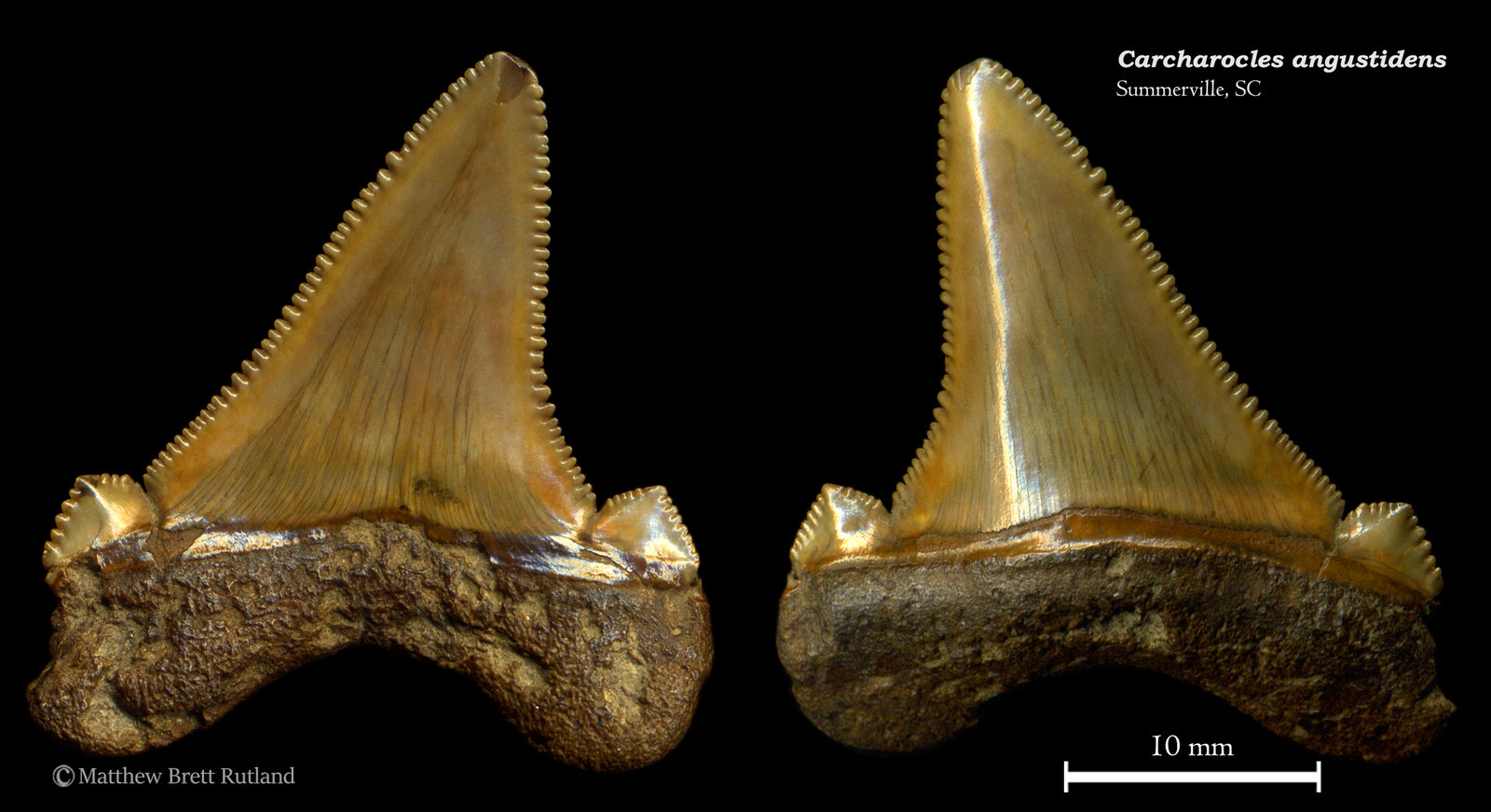 Carcharocles angustidens 10