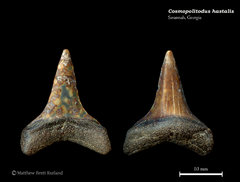Carcharodon hastalis 03
