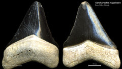 Carcharocles megalodon 05
