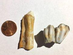 NSR Mammal Teeth