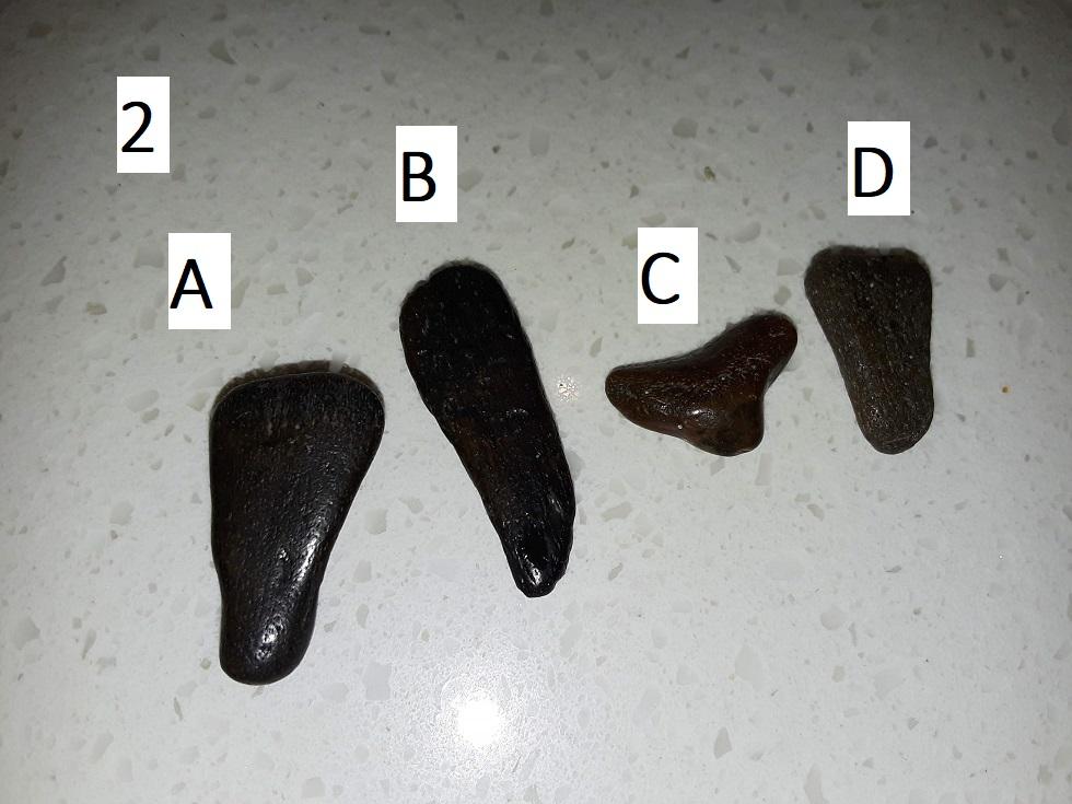 2. Fossils from Venice Beach A-D  LB 1-12-2019 - 30.jpg