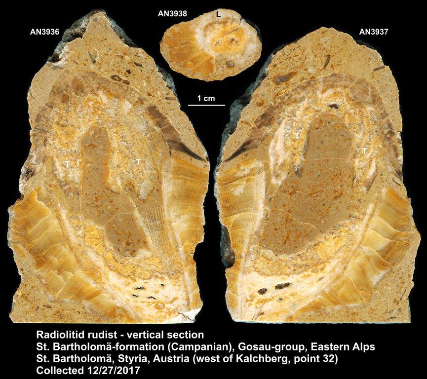 Radiolitid_AN3936_AN3937_kompr.thumb.jpg.76ec40c2f8369d2a5aab6855882419bc.jpg