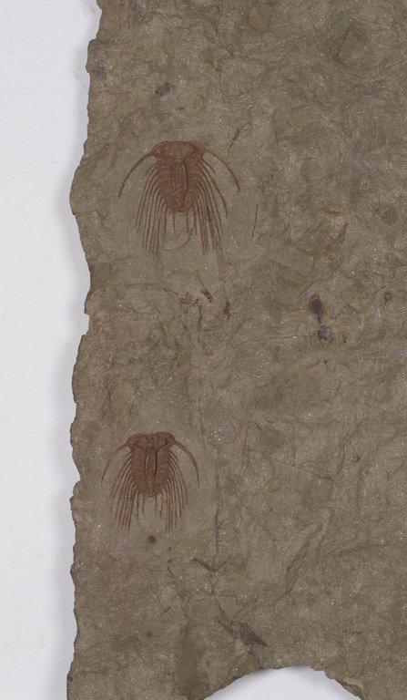 Selenopeltis_gallica_cropped-small.jpg