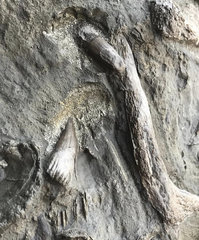 Ichthyosaur Teeth