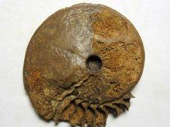 Hyperlioceras cuneatum (Buckman 1898)