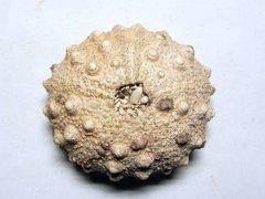 Echinometra sp. (Gray 1825)