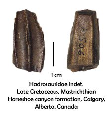Canadian hadrosaur